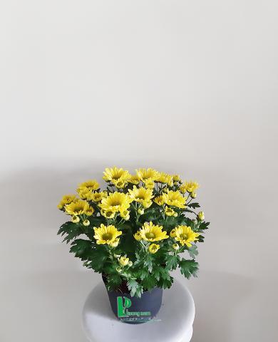 Hoa cúc Đà lạt 05