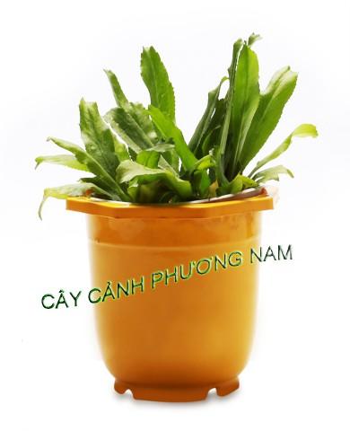 Chậu Ngò Gai